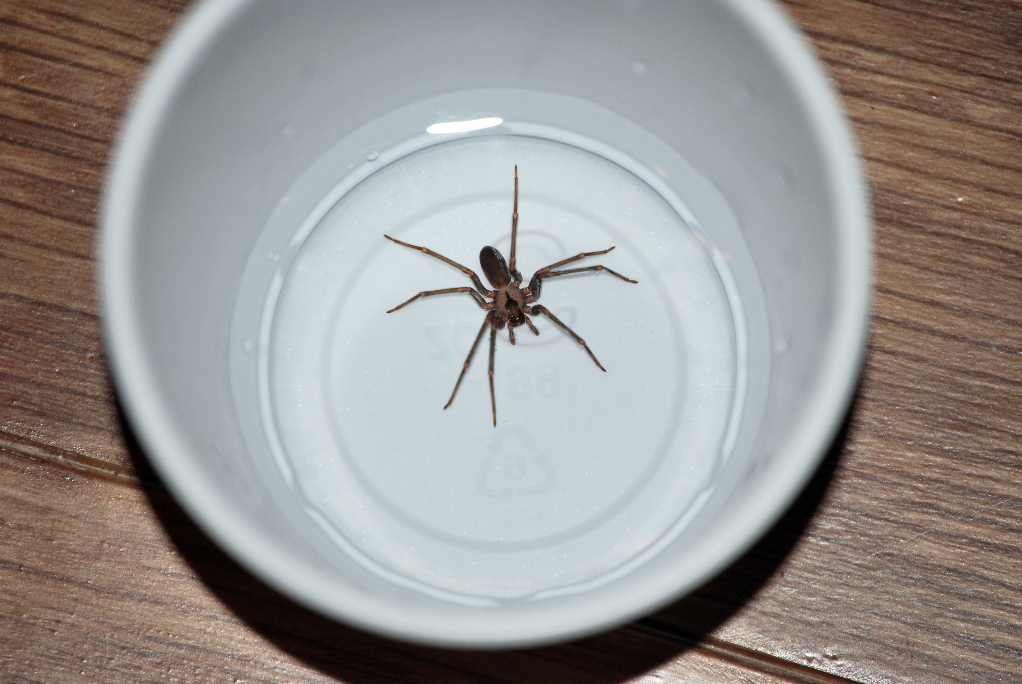 a study into the world of spiders A spider believed to be the oldest in the world has died at the age of 43,  she  was born in 1974 as part of a long-term study of the population.